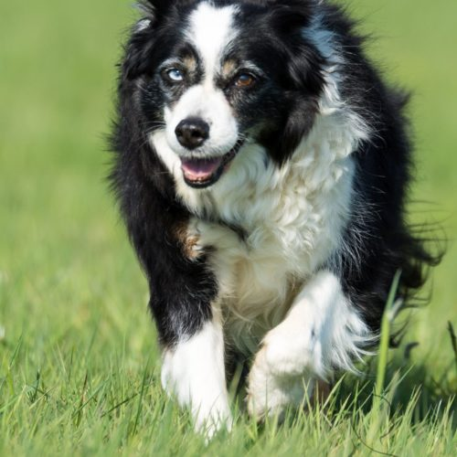 Border-Collie Lizzy