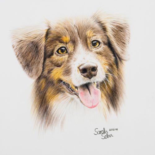 Australian Shepherd Zeichnung