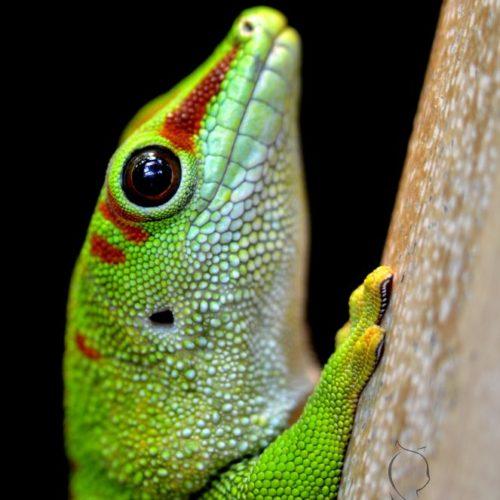 Madagassischer Taggecko
